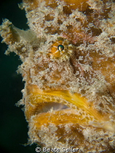 Giant yellow frogfish, taken at the Jetties, Panama City ... by Beate Seiler 